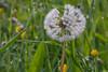Pusteblume (romuepic) Tags: löwenzahn blüten pusteblume rasenstück