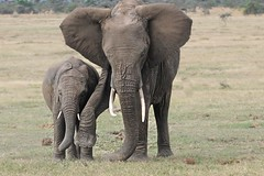Teaching Junior How to Count (Kitty Kono) Tags: yumikokono kittyrileykono elephants dustbath kenya safari