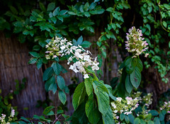 Bugs hortenzia virg - Hydrangea paniculata (wiandt.gabor) Tags: hydrangea paniculata hortenzia virg