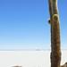 Giant Cactus, Isla del Pescado, Bolivia