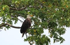 Resident bald eagle - Mt. Loretto Unique Area, Staten Island, New York (superpugger) Tags: statenislandbaldeagles bald eagles baldeagles newyorkcitywildlife raptors statenislandwildlife birdsofprey newyorkcitybirdsofprey lawrencepugliares lpugliares