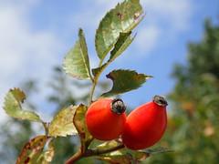 Hagebutte Frucht P9241307 (Thomas Rossi Rassloff) Tags: hagebutte frucht pflanze strauch bltter laub herbst ernte jahreszeiten natur