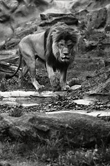 King of nature . . . (drim3r) Tags: nikon d7000 85mm 18g nikkor olomouc zoo zologic garden safari wild life africa zps 18 sweet fluffy furry fuzz king nature drim3r ertamus panthera leo glass lens apature dslr bw black white manual mode af auto focus moving power leon lev zoner photo studio natuonal geografic wow amazing wonderful paw paws step