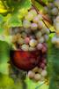 In vino veritas (Jutta M. Jenning) Tags: weintrauben trauben weintraube traube weinlaub weinblatt weinblaetter rebe reben rebstock rebstoeckegruen traubendolde traubendolden weinberg weinberge frucht fruechte obst vitamin vitamine essen rosa rose wein rosé roséwein weinglas