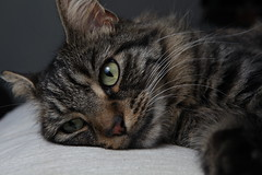 Let me go to sleep (Argyle Fan) Tags: cat pets canon canon2470mmf28 stobist flash flashguns pocketwizard pocketwizards