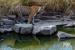 Nervous Tiger (fascinationwildlife) Tags: animal mammal bengal tiger predator wild wildlife cat feline elusive female nature natur national park ranthambhore india asia pond summer heat tigress