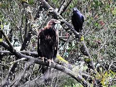 wedgetail eagle and raven (jeaniephelan) Tags: bird birdofprey tasmanianbird australianbird wedgetaileagle eagle wedge tail