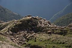 Estive de Pouilh  (Arige) (PierreG_09) Tags: arige pyrnes pirineos couserans portdesalau couflenssalau faune troupeau estive transhumance mouton brebis estivedepouilh pouilh