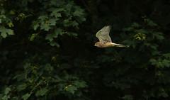 Kestrel... (petegatehouse) Tags: henkestrel kestrel lowflight inflight flying hunting lookingforprey amongstthetrees trees leaves