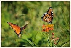 Queens and Bloodflower Milkweed (gauchocat) Tags: tohonochulpark tucsonarizona