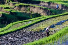 Rice paddies near Gunung Kawi in Tampaksiring (Tim&Elisa) Tags: indonesia asia canon bali ricepaddies gunungkawi landscape rice water green tampaksiring riceterrace