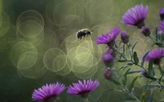 Still buzzy! (ursulamller900) Tags: bee biene autumn aster bokeh diaplan28100