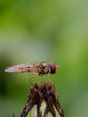 hainschwebfliege (gerry_me) Tags: schwebfliege hainschwebliege makro macro hoverfly episyrphus balteatus insect insekt fluginsekt olympus omdem1