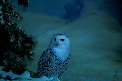 Night beauty (Rajavelu1) Tags: owl birds jurongbirdspark singapore travel toor artland aroundtheworld creative