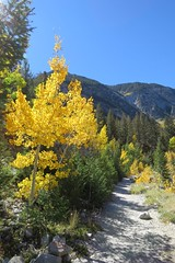 Touch of Gold (Patricia Henschen) Tags: denversouthparkpacificrr railroad grade trail chalkcreek historic nathrop colorado canyon chalkcreekcanyon mtprinceton mtantero mountains mountain sawatch rangechaffee countyautumnfallleaf peepingaspenfall colorspaths caminhos