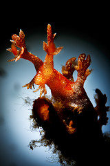 Bornella barking at the moon (Luko GR) Tags: indonesia bali tulamben melasti diving underwater macro critter muck dive nightdive bornellastellifer nudibranch seaslug orange backlight snoot