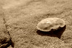 Crab (Hannah Hamblin) Tags: crab sand summer shadow sepia rock beach spring dead die ruff kiss