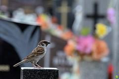Feathered visitor (petrOlly) Tags: europe europa poland polska polen lodz cemetery summer flower flowers nature natura przyroda bokeh birds bird