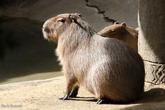234A9712.jpg (Mark Dumont) Tags: animals capybara cincinnati dumont mammal mark zoo