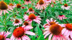 lake katherine. 2016 (timp37) Tags: flowers july 2016 illinois lake katherine palos heights