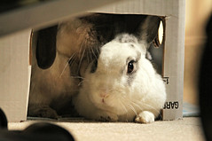Livingroom bunnies (Tjflex2) Tags: boy pets canada cute rabbit bunny bunnies girl vancouver mammal furry bc friendship fuzzy conejo small adorable rory cuddly rabbits coelho playful moko lapin usagi h