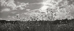 Flower Field and Sky (frntprchprss) Tags: blackandwhite ma dramaticsky easthampton flowerfield mountainviewfarm fixedshadows coummunityfarmshare