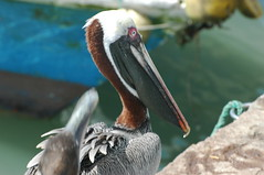 pelican breeding colours (cam17) Tags: santacruz galapagos brownpelican pelecanusoccidentalis puertoayora warmblooded galapagosbrownpelican pelecanusoccidentalisurinator breedingcolours