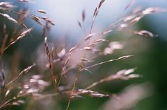 PRIMAL SYMPATHY (La Branaro) Tags: pink ontario canada slr film grass spring fuji olympus 35mmfilm grasses wildflowers expired om1 reala northernontario grassseeds grassheads stjosephisland richardslanding 50mmf35macro zuikomacro matthewsisland