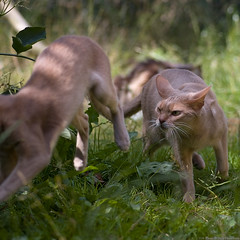 Get Lost (peter_hasselbom) Tags: cats sun game cat outside fight play fawn abyssinian 105mm