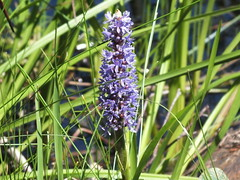 Pickerelweed (RonG58) Tags: pictures new trip travel flowers light summer plants usa plant flower color film nature norway geotagged fun botanical photography us photo raw day image photos live maine picture images photograph digitalcamera wildflowers pickerelweed wildplants fugifilm topshots mainewildflowers finepixhs20exr dailynaturetnc12 flickkrsportal rong58 pennesseewasseelake