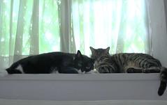 (bunagaya-santasan) Tags: cats animal cat kitty neko  katzen