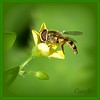 that is tasty. (Cajaflez) Tags: flower green yellow bug insect fly klein groen pic panasonic tiny geel insekt hoverfly bloem vlieg mfcc zweefvlieg thegalaxy abigfave 100commentgroup mygearandme dmcfz150 rememberthatmomentlevel1