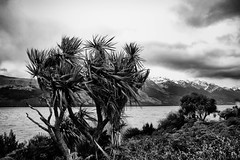 Blowing away the Cabbage trees -Lake Wakitipu (kiwigran) Tags: winter newzealand tree windy cabbage queenstown cabbagetree waether lakewakitipu