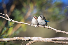 The Splendid Fairywren (Malurus splendens) (Marc Russo (Australia)) Tags: west bird native south australia fairy wren splendid fairywren malurussplendens