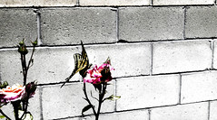 """""""The only girl I've ever loved, Was born with roses in her eyes"""" (Ocean.movie) Tags: life bw 3 flower color brick rose last butterfly frank anne hotel is milk story neutral readthebook picturesthere"""