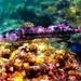 Great Barracuda: Looe Key National Marine Sanctuary (FKNMS) Florida Keys, USA