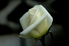 A pure rose, cleansed in the morning dew. (scismgenie) Tags: morning white macro rose night early dew cloaeup