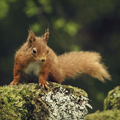quizzical (Black Cat Photos) Tags: park wood old red cute green nature look animal stone wall forest moss squirrel wildlife yorkshire adorable reserve naturereserve stare stonewall lichen lush rare mossy esquilo squiggle dales ardilla yorkshiredales redsquirrel