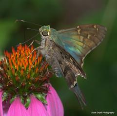 Long Tailed Skipper - Urbanus proteus #2 (ScreaminScott) Tags: butterfly skipper longtailedskipperurbanusproteus