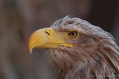 Seeadler (Haliaeetus albicilla) (hellboy2503) Tags: portrait bird nature animal animals canon germany deutschland photography tiere photo eagle natur adler feathers images raptor 7d getty grn blau creatures vgel landschaft weiss 70200 luft tier vogel gettyimages jrg schnabel kreatur beute jger federn 100400 thegalaxy gefieder seeadler gettyimagescallforartists gettyimagesartistpicks hellboy2503 rememberthatmomentlevel1 rememberthatmomentlevel2 rememberthatmomentlevel3