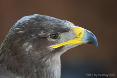 Steinadler (Aquila chrysaetos) (hellboy2503) Tags: portrait bird nature animal animals canon germany deutschland photography tiere photo eagle natur adler feathers images raptor 7d getty grn blau creatures vgel landschaft weiss 70200 luft steinadler tier vogel gettyimages jrg schnabel kreatur beute jger federn 100400 thegalaxy gefieder gettyimagescallforartists gettyimagesartistpicks hellboy2503 rememberthatmomentlevel4 rememberthatmomentlevel1 rememberthatmomentlevel2 rememberthatmomentlevel3 rememberthatmomentlevel5