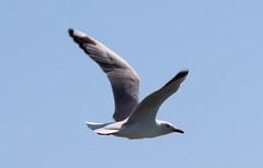 seagull (George Elliott Photography) Tags: me2youphotographylevel1 freedomtosoarlevel1birdphotosonly