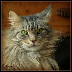 Floris (Cajaflez) Tags: portrait pet cat kat chat longhair panasonic mainecoon katze portret gatto huisdier kater floris tomcat pedigree thegalaxy raskat langharig 100commentgroup saariysqualitypictures mygearandme mygearandmepremium mygearandmebronze mygearandmesilver mygearandmegold mygearandmeplatinum dmcfz150 ruby5 flickrstruereflection1 rememberthatmomentlevel1 rememberthatmomentlevel2 rememberthatmomentlevel3