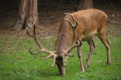 grazing deer (green_lover (I wait for your COMMENTS!)) Tags: deer animals mammals wolin poland nature friendlychallenges unanimousfc brown