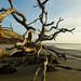 Driftwood Beach 6