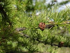 Tamarack Leaves and Cone (corey.raimond) Tags: tree wisconsin flora larch coniferous wetland tamarack conifer pinaceae larixlaricina