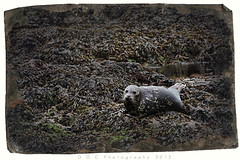 It's The Eyes (DGC Photography.ca) Tags: canada bc vancouverisland tofino ucluelet harbourseal dougcallow