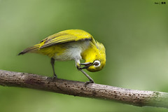 Oriental White Eye on perch #2 (kengoh8888) Tags: wild white cute green eye pose dof pentax background ngc depthoffield clean perch oriental avian creamy k5 smallbird blinkagain bestofblinkwinners blinksuperstars