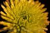 ~ Lemon Drops ~ (iTail ~ 4.5 Million Views ~ Thanks to all.) Tags: flower macro canon eos drops lemon heart bokeh mum stevepage waterdrops chrysanthemum yellew lemondrops flowerheart itail stephenpage canon5dmarkiii 5d3 ef100mmf28lmacroisusm