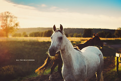 Day 240/365: All The Wild Horses {Explored} (jennydasdesign) Tags: horses horse sunlight landscape 50mm dof sweden bokeh explore 365 2012 loh goldenlight pola